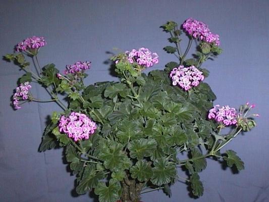 P. cortusifolium x P. echinatum 'Lara Princess' 2. Credit: Cliff Blackman.