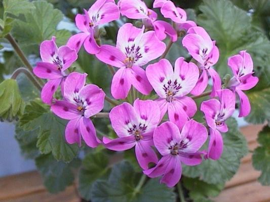 P. cortusifolium x P. echinatum 'Lara Princess' 1. Credit: Cliff Blackman.