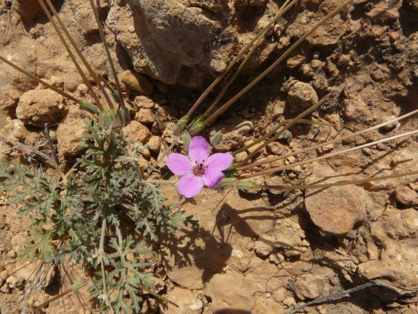 Erodium crassifolium 1, 9 km from Tataouine to Chenini, Tunisia. Credit: Guy-Georges Guittonneau.