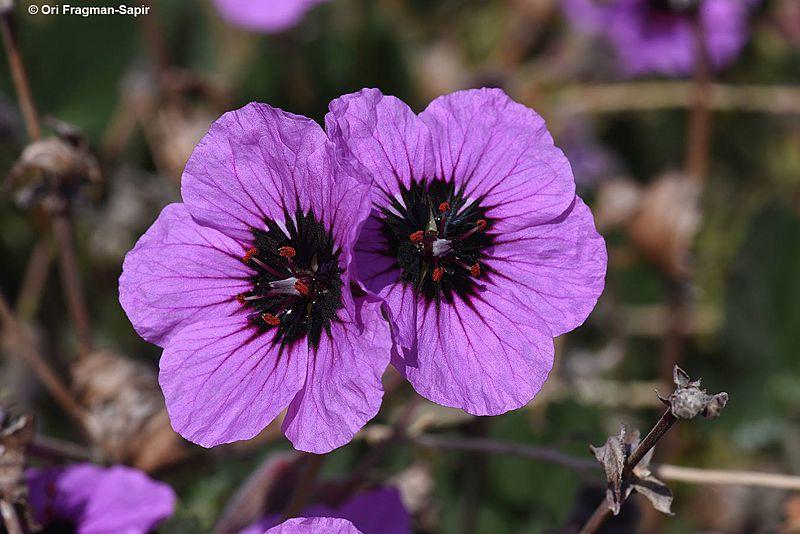 Erodium arborescens 1, S Israel. Credit Ori Fragman-Sapir.