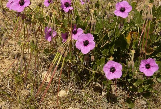 Erodium arborescens 2, Between Agareb and Mahres, 15 km from Mahres. Credit Guy-Georges Guittonneau.
