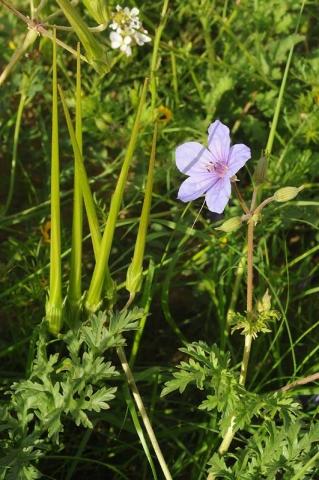 Erodium ciconium 2, N Beer-Sheva, S Israel, Credit Ori Fragman-Sapir.