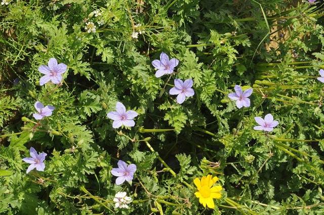 Erodium ciconium 4, N Beer-Sheva, S Israel, Credit Ori Fragman-Sapir.