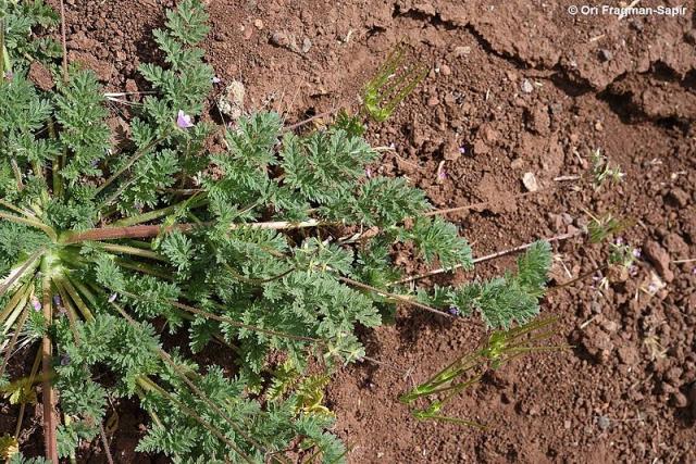 Erodium cicutarium 2, N Israel, Credit Ori Fragman-Sapir.