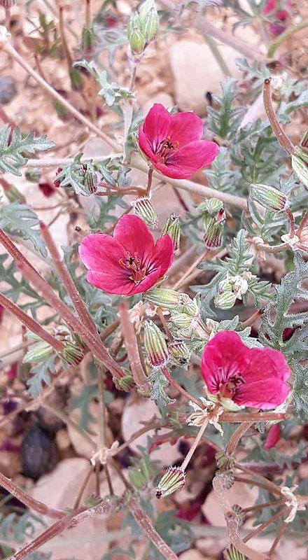 Erodium crassifolium 1, Naffousa Mountain, Libya. Credit Nermien Elgheriani.