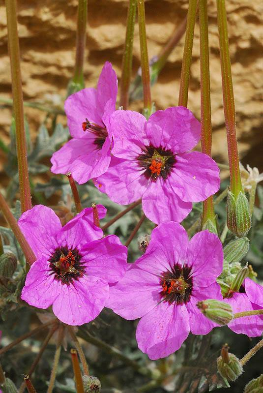 Erodium crassifolium 1, Negev Desert Highlands, S Israel, Credit Ori Fragman-Sapir.