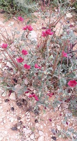 Erodium crassifolium 2, Naffousa Mountain, Libya. Credit Nermien Elgheriani.