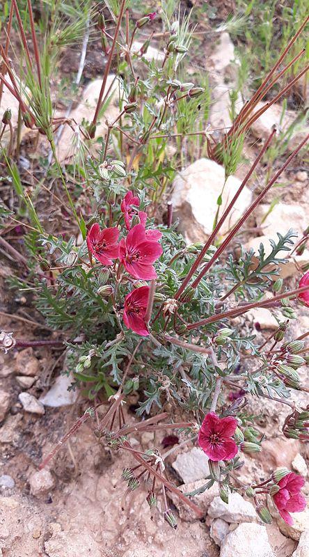 Erodium crassifolium 3, Naffousa Mountain, Libya. Credit Nermien Elgheriani.