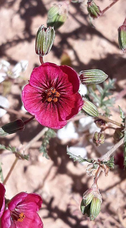 Erodium crassifolium 4, Naffousa Mountain, Libya. Credit Nermien Elgheriani.