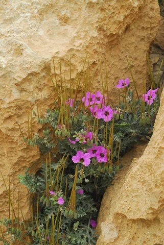 Erodium crassifolium 4, Negev Desert Highlands, S Israel, Credit Ori Fragman-Sapir.