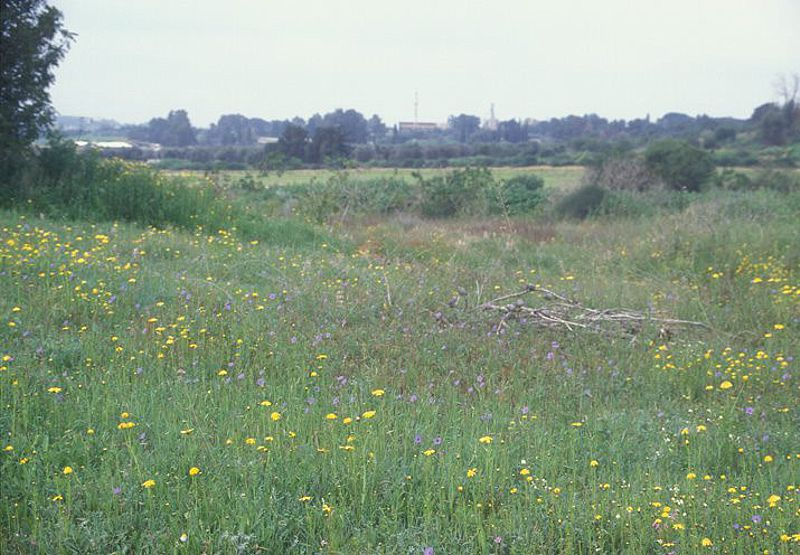 Erodium tel-avivense 3, Israel. Credit Ori Fragman-Sapir.