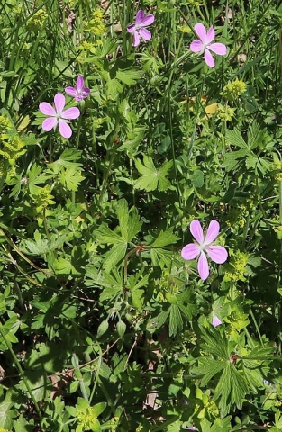 Geranium asphodeloides 2, Arcadia, Greece. Credit Vangelis Skoufakis.