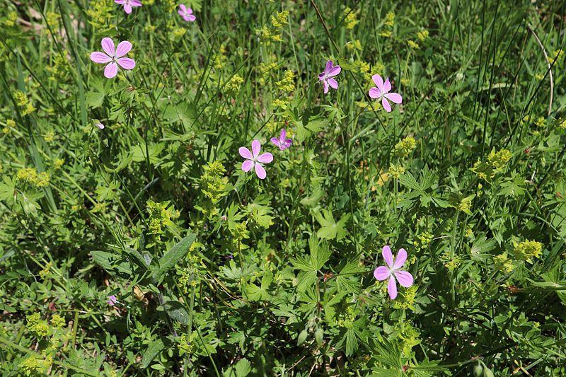 Geranium asphodeloides 3, Arcadia, Greece. Credit Vangelis Skoufakis.