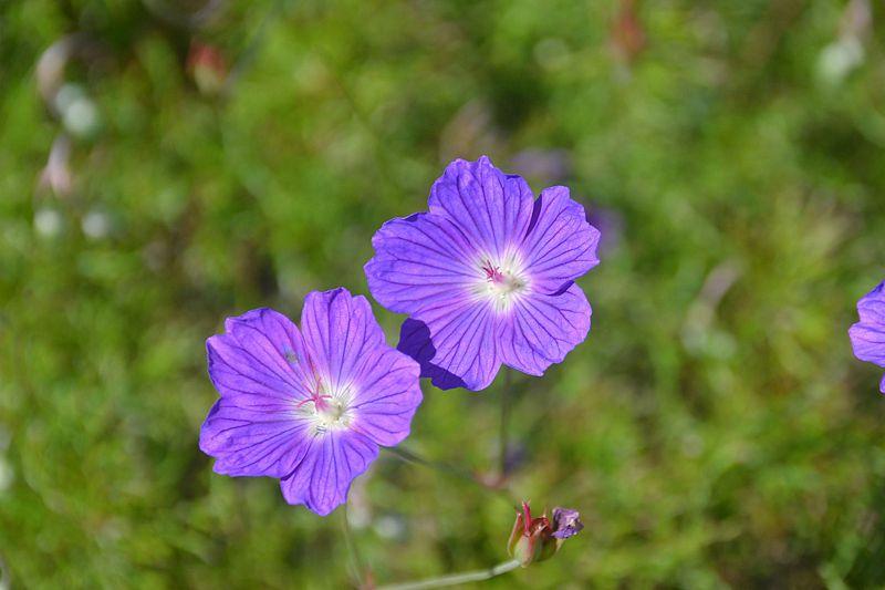 Geranium incanum 1, Sedgefield, W Cape. Credit Fanie Avenant.