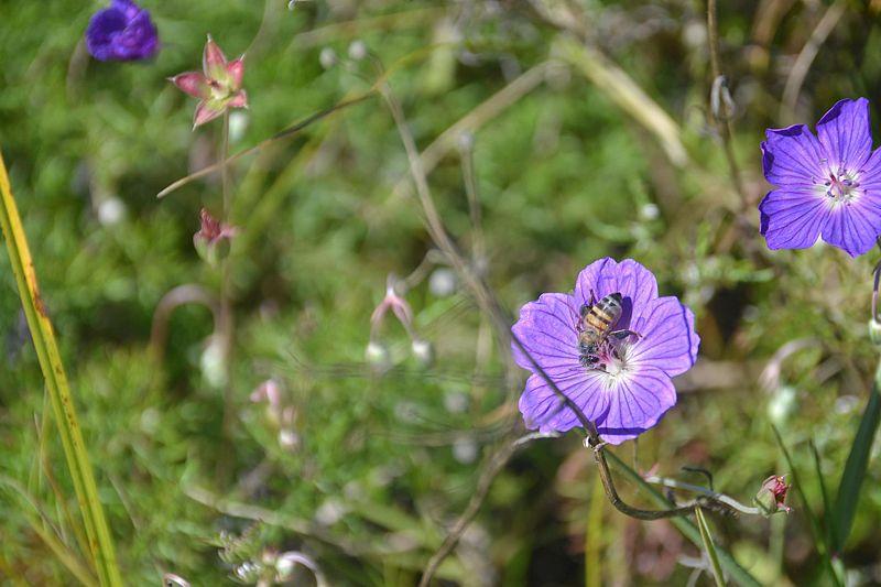 Geranium incanum 3, Sedgefield, W Cape. Credit Fanie Avenant.