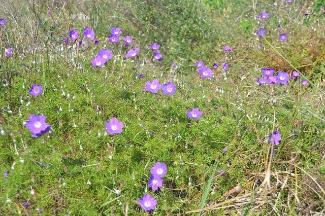 Geranium incanum 4, Sedgefield, W Cape. Credit Fanie Avenant.