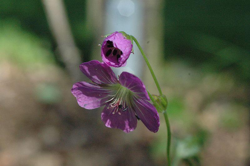 Geranium yunanense. Credit Dominique Evrard.