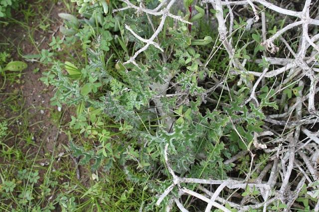Pelargonium carnosum ssp. carnosum 6, Jacobsbaai. Credit: Matija Strlic.