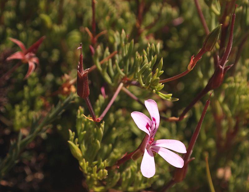 Pelargonium laevigatum ssp. laevigatum 4, Sneeuberg, RSA. Credit: Nick Helme.