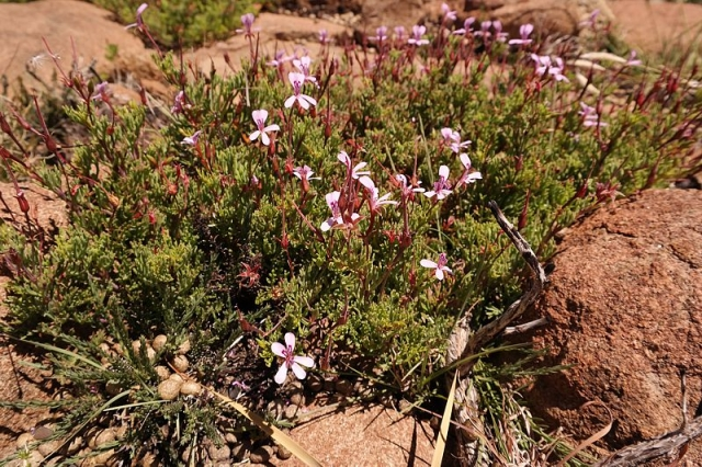 Pelargonium laevigatum ssp. laevigatum 3, Sneeuberg, RSA. Credit: Nick Helme.