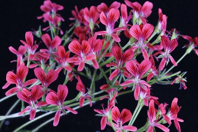 P. oblongatum x P. fulgidum 1. Credit Peter Liekkio.