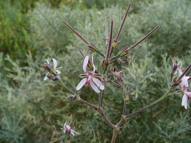 Pelargonium carnosum ssp. carnosum 1, St Helena Bay. Credit: Jan Movitz.