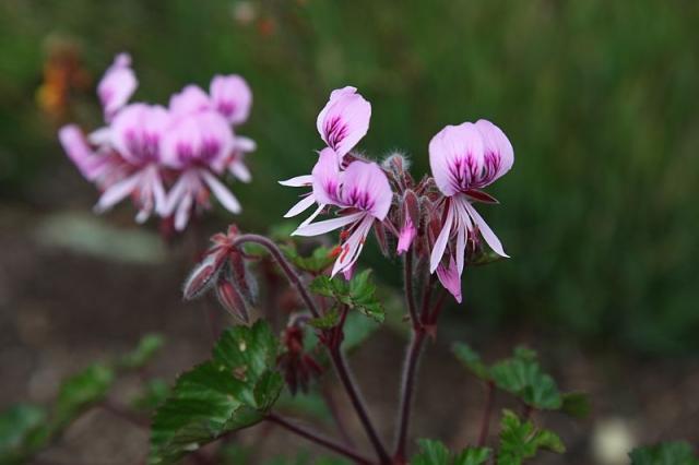 Pelargonium cordifolium 4, Kirstenbosch. Credit: Matija Strlic.