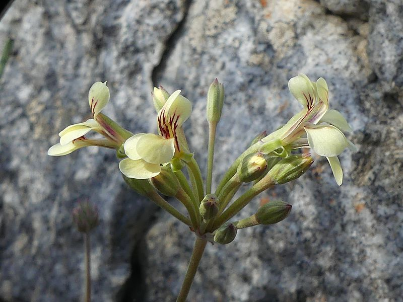 Pelargonium luteolum, Montagu. Credit Jan Movitz.