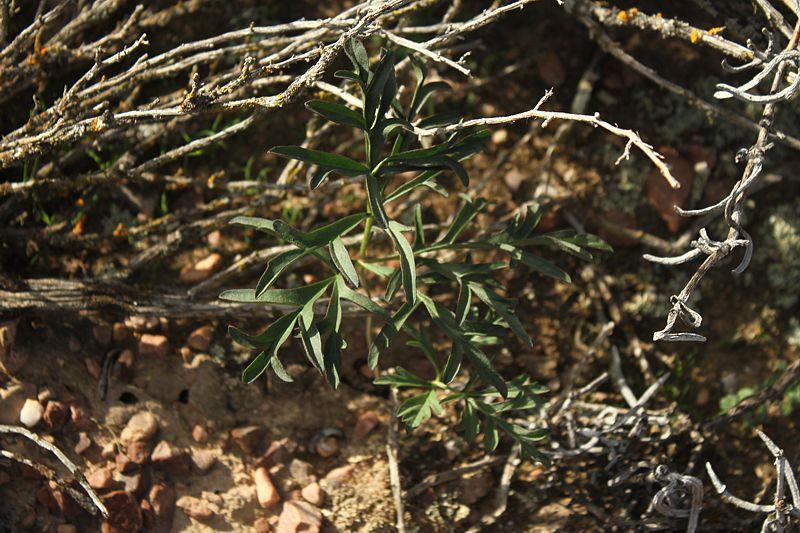 Pelargonium luteolum, Worcester. Credit Matija Strlic.