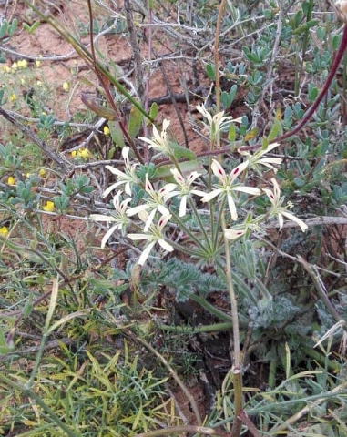 Pelargonium appendiculatum 2, Lamberts Bay. Credit Lana Engelbrecht.