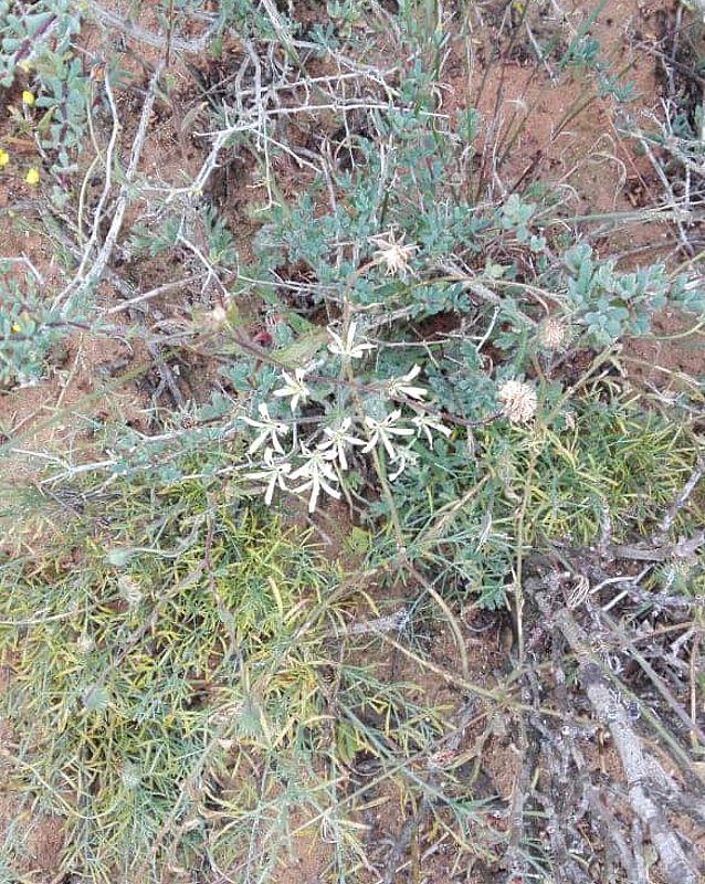 Pelargonium appendiculatum 3, Lamberts Bay. Credit Lana Engelbrecht.