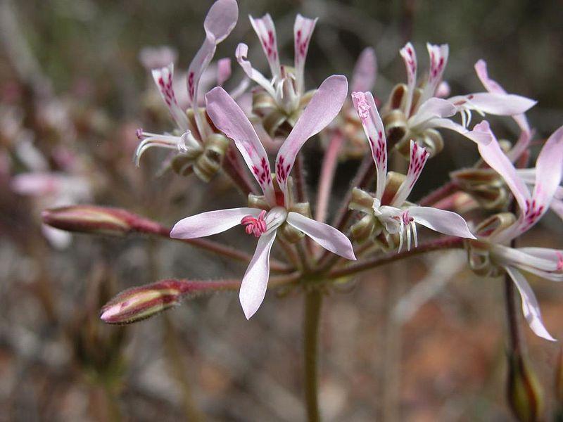 Pelargonium bubonifolium 1, Steinkopf. Credit Jean-Andre Audissou.