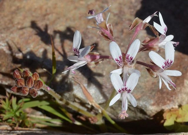 Pelargonium bubonifolium 1, West of Bulletrap. Credit Jean-Andre Audissou.
