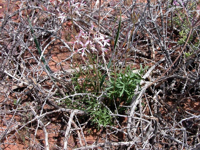 Pelargonium bubonifolium 2, Steinkopf. Credit Jean-Andre Audissou.