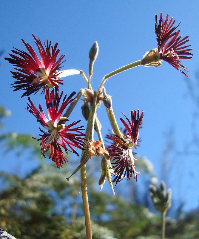 Pelargonium caffrum 1, E Oudtshoorn. Credit Judd Kirkel Welwitsch.