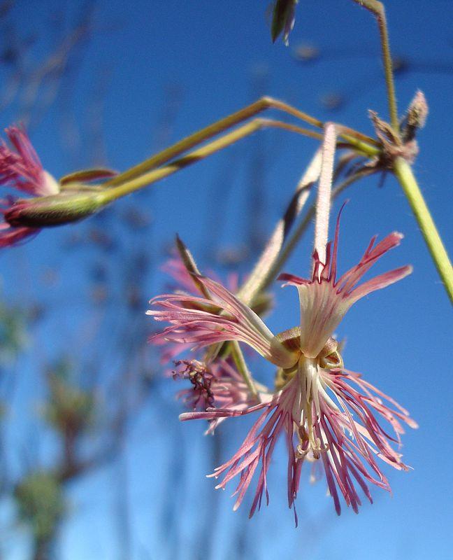 Pelargonium caffrum 3, E Oudtshoorn. Credit Judd Kirkel Welwitsch.