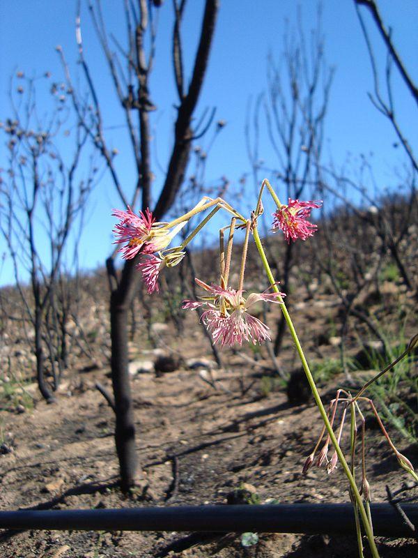 Pelargonium caffrum 5, E Oudtshoorn. Credit Judd Kirkel Welwitsch.