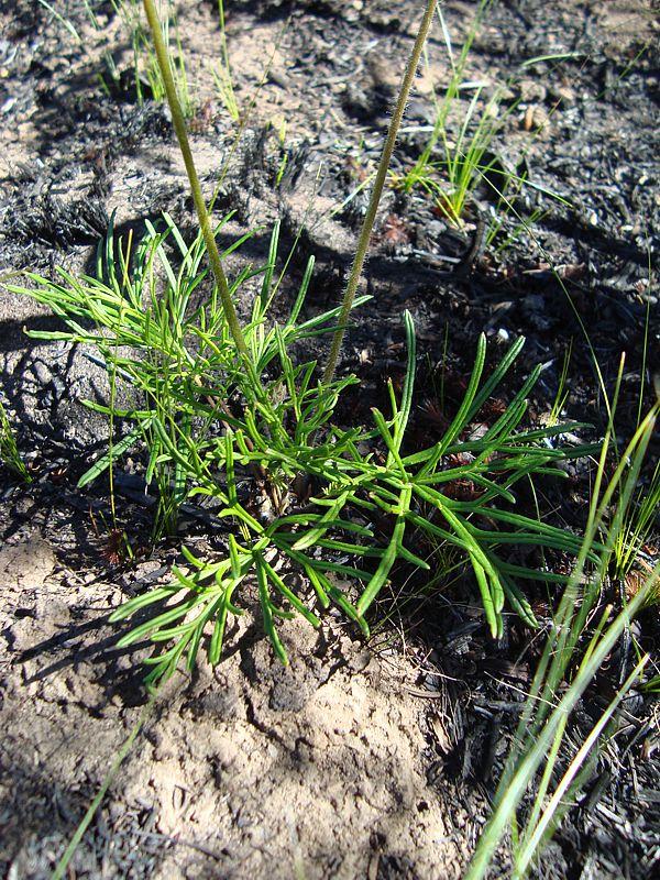 Pelargonium caffrum 6, E Oudtshoorn. Credit Judd Kirkel Welwitsch.