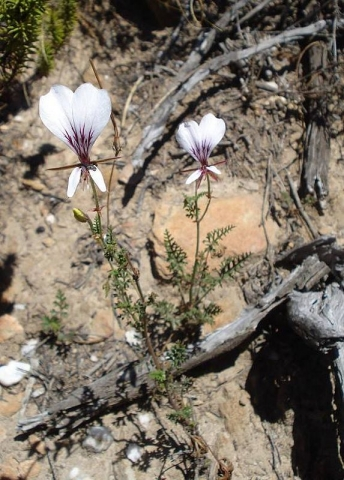 Pelargonium caucalifolium ssp. caucalifolium 1, E Oudtshoorn. Credit: Judd Kirkel Welwitsch.