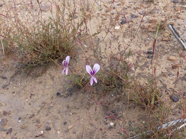 Pelargonium caucalifolium ssp caucalifolium 2, Witteberg NR. Credit Frik Linde.