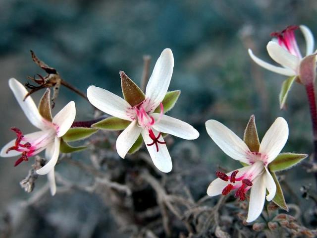 Pelargonium ceratophyllum 1, Luderitz. Credit Jean-Andre Audissou.