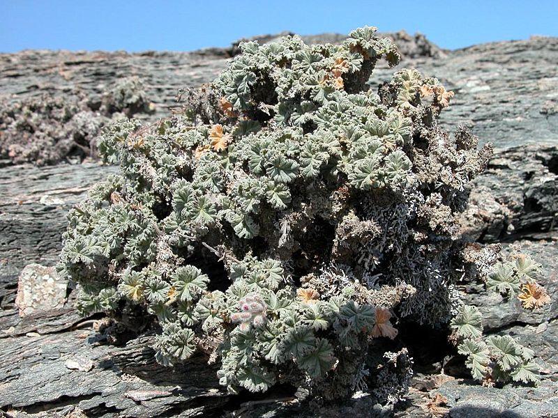 Pelargonium cortusifolium 2, Luderitz. Credit Jean-Andre Audissou.