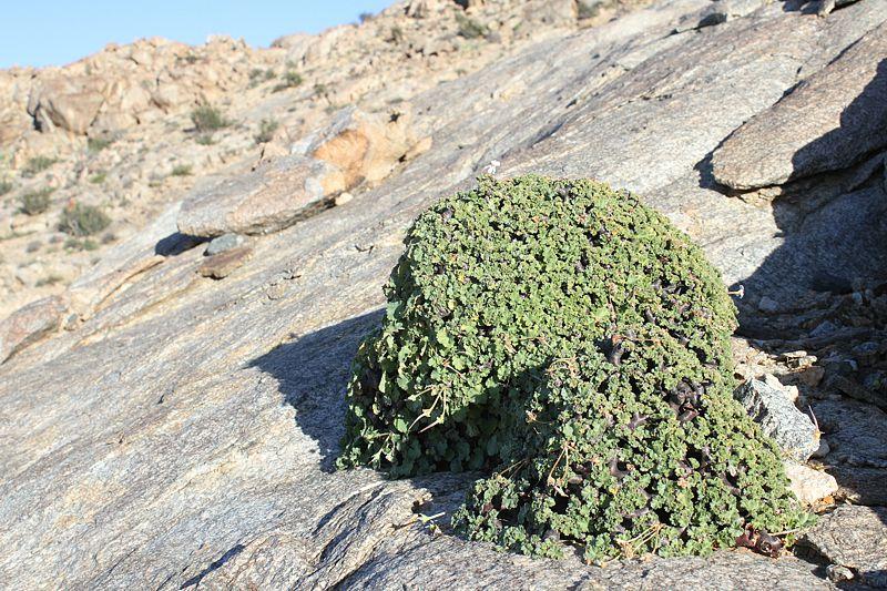 Pelargonium crassicaule 'mirabile' 2, Halenberg. Credit Matija Strlic.