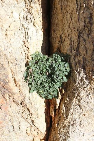 Pelargonium crassicaule 'mirabile' 3, Halenberg. Credit Matija Strlic.