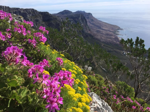 Pelargonium cucullatum ssp. tabulare 3, Table Mountain. Credit: Mahendran Moodley.