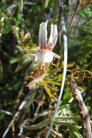 Pelargonium dolomiticum 4, NW Postmasburg. Credit Judd Kirkel Welwitsch.