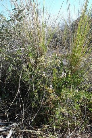 Pelargonium dolomiticum 5, NW Postmasburg. Credit Judd Kirkel Welwitsch.