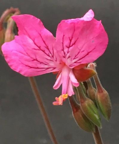 Pelargonium endlicherianum 2. Credit Arjan de Graaf.