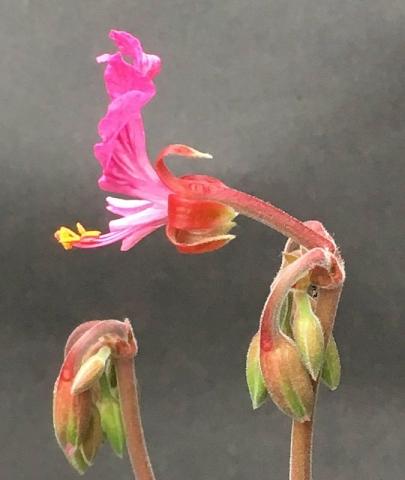 Pelargonium endlicherianum 3. Credit Arjan de Graaf.