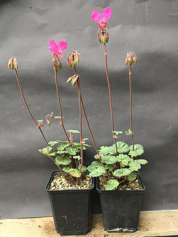 Pelargonium endlicherianum 6. Credit Arjan de Graaf.